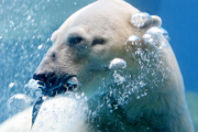Samec ledního medvěda Inuka (na archivním fotu).