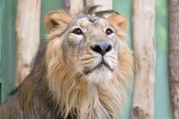 Samec vzácného lva indického Jamvan v pražské zoo (na snímku z 16. prosince 2015).