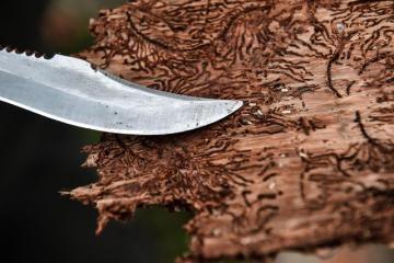 Kůra ze stromu napadeného kůrovcem, larvové chodbičky - ilustrační foto.