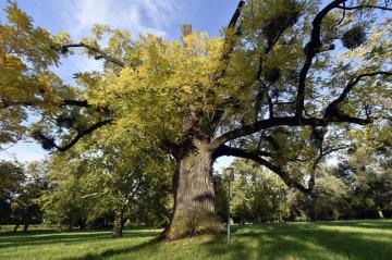 Ilustrační foto - Titul Strom roku 2017 získal 5. října ořešák z Kvasic na Kroměřížsku. Zhruba 230 let starý strom (na snímku ze 4. října) roste v tamním památkově chráněném zámeckém parku.