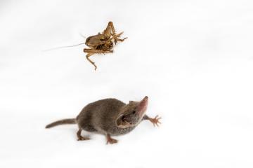 Návštěvníci pražské zoo mohou v africkém pavilonu vidět bělozubky, hmotnostně nejmenší savce na světě. Tvor, který připomíná myš, váží v průměru pouze 1,8 gramu. V zoo mají vybudovaný chovný labyrint, v němž jsou zvyklé se rozmnožovat.