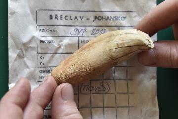 Archeologové v těchto dnech dokončují další z částí výzkumu ve velkomoravské lokalitě Pohansko u Břeclavi. Na snímku z 9. srpna 2018 je nalezený zub medvěda.