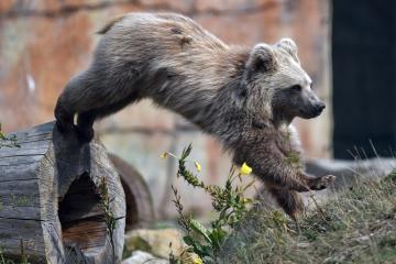 Jihočeská zoologická zahrada Hluboká nad Vltavou pokřtila 29. srpna 2018 vzácného medvěda plavého, který se zde narodil 1. ledna 2018. Medvídě vážící 35 kilogramů dostalo jméno Bílý dráp. Jde o kriticky ohrožený druh, v budoucnu ho zoo chce umístit do nějaké renomované zoologické zahrady.