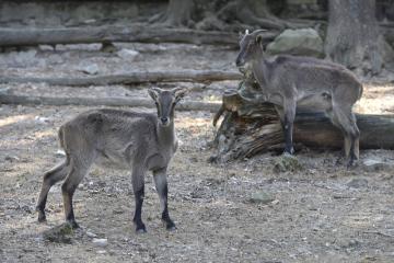 Brněnská zoo nově chová stádo šesti tahrů himálajských (na snímku z 30. srpna 2018). Čtyři samice dorazily z Francie, dva samci pochází z Košic. Tahři jsou prvním novým druhem v zařízení pro plánovaný expoziční celek Himálaj, který představí nejtypičtější zvířata těchto končin. Obývají horské svahy Himálají od západní Indie po východní Bhútán. Jsou to býložravci a živí se hlavně trávou, rostlinami a také listy keřů.