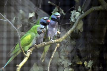 V ostravské zoologické zahradě představili 7. září 2018 nový přírůstek, drobné pestré papoušky alexandry čínské. Hejno bude obývat upravenou a rekonstruovanou voliéru, ve které mohli dříve návštěvníci pozorovat výry velké. Ve volné přírodě alexandři čínští obývají himálajské vysokohorské lesy v Indii a Číně.