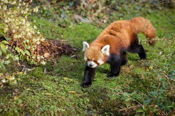 Návštěvníci zoologické zahrady v Praze mohou v expozici nedaleko hlavního vchodu spatřit mládě vzácné pandy červené.
