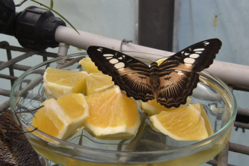 Exotičtí motýli se od 26. září 2018 líhnou ve skleníku botanické zahrady Mendelovy univerzity v Brně. Skleníky se dvěma desítkami druhů motýlů se otevřou zájemcům 27. září 2018 a výstava potrvá do pondělí 8. října 2018. Naposledy ji zhlédlo 20.000 návštěvníků. Na snímku je Parthenos sylvia.