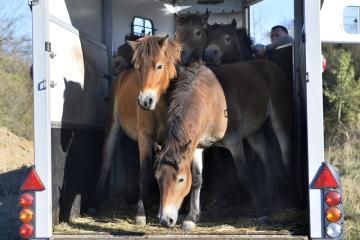 Do ohrady na Šlovickém vrchu u Dobřan bylo 30. září 2018 vypuštěno šest hřebečků, exmoorských ponyů.