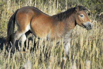 Do ohrady na Šlovickém vrchu u Dobřan na Plzeňsku bylo 30. září 2018 vypuštěno šest hřebečků, exmoorských ponyů.
