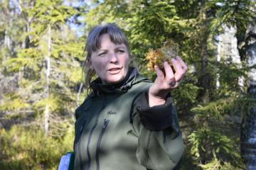 Na Šumavě začal sedmiletý projekt obnovy mokřadů a rašelinišť LIFE for mires za 150 milionů korun. V Národním parku Šumava a v menší míře i v sousedním Národním parku Bavorský les bude obnoveno 2059 hektarů ploch, z toho 1672 hektarů rašelinišť a mokřadů. Dlouho připravovaný projekt, který vrátí vodu zpět do krajiny, podpořila EU v programu LIFE. Na snímku z 26. října 2018 vedoucí projektu Iva Bufková ukazuje rašeliník.