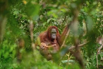 Fotografií roku 2018 a vítězem soutěže Czech Press Photo je snímek samice orangutana s umírajícím potomkem. Jeho autorem je Lukáš Zeman, který obrázek odkazující na ničení přírody pořídil na Borneu.
