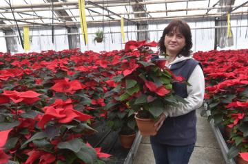 V Olomouci začala charitativní sbírka s názvem Vánoční hvězda, jejíž výtěžek pomůže onkologicky nemocným dětem. Květiny, které pěstují olomoučtí floristé, mohou zakoupit lidé po celé Moravě, ale i v Praze. Snímek byl pořízen 21. listopadu 2018 ve sklenících v Olomouci, kde vánoční hvězdu neboli pryšec nádherný (Euphorbia pulcherrima) pěstují na ploše 1,2 hektaru. Zahradnice na snímku drží jednu z dekoračních rostlin, které nazývají pyramida.