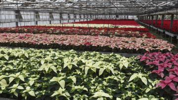 V Olomouci začala charitativní sbírka s názvem Vánoční hvězda, jejíž výtěžek pomůže onkologicky nemocným dětem. Květiny, které pěstují olomoučtí floristé, mohou zakoupit lidé po celé Moravě, ale i v Praze. Snímek byl pořízen 21. listopadu 2018 ve sklenících v Olomouci, kde vánoční hvězdu neboli pryšec nádherný (Euphorbia pulcherrima) pěstují na ploše 1,2 hektaru.