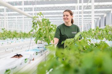 Společnost Farma Bezdínek začala pěstovat rajčata a okurky ve svých nových sklenících v Dolní Lutyni na Karvinsku. Snímek z 23. listopadu 2018 ukazuje výsadbu ve skleníku.
