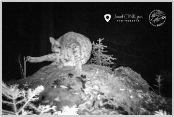 Fotopast zachytila v Chráněné krajinné oblasti (CHKO) Brdy rysa, jeho výskyt zde sledují dlouhodobě. Zaregistrován byl v tomto prostoru několikrát od poloviny devadesátých let.