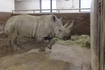 Do Zoo ve Dvoře Králové nad Labem přicestovala 12. prosince 2018 z Francie nová samice jižního bílého nosorožce, která by se ve dvorském safari parku měla zapojit do chovu a rozšířit tak stávající tříčlennou skupinu.