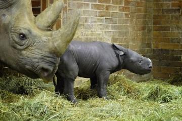 V ZOO Dvůr Králové nad Labem se 9. prosince 2018 narodilo mládě nosorožce dvourohého, druhu, který je ohrožen vyhynutím. Matkou mláděte je dvanáctiletá samice Maisha (vlevo), otcem samec Mweru. Nové mládě je sameček a je 46. nosorožcem dvourohým, který se ve dvorské zoo narodil.