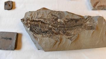 Zástupci společnosti Severočeské doly předali 14. ledna 2019 v Praze Národnímu muzeu sbírku zkamenělé třetihorní flóry a fauny, která se po desítky let nacházela při těžbě v severních Čechách. Mezi exponáty je nejstarší brouk krasec na světě, jeho stáří je přibližně 20 milionů let, zkamenělé ryby, žáby, vodní želvy, hmyz či ukázky fauny, které odpovídají dnešnímu subtropickému klimatu.