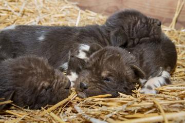 Smečka kriticky ohroženého psa hyenového v ZOO Dvůr Králové nad Labem se v minulých dnech rozrostla o šest štěňat. Samice Fiona na konci prosince 2018 porodila celkem 13 mláďat. Jedno velmi slabé mládě uhynulo samo, dalších šest nejslabších utratili zoologové, aby zvýšili šance na přežití ostatních.