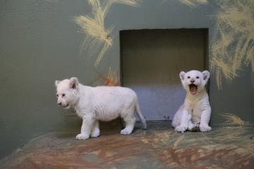 Návštěvníci hodonínské zoo mají možnost v expozici zahlédnout dvě mláďata lvů jihoafrických vzácné bílé barvy, která se narodila 13. prosince 2018. Pracovníci zoo už zčásti odstranili nátěr skla ubikace, který lvíčata před zvědavými pohledy dosud chránil. Oficiální jména lvíčata zatím nemají, pracovně jim chovatelé říkají Jedenáctka a Dvanáctka.