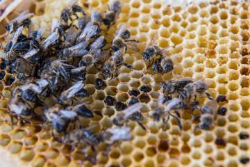 V některých částech Jihočeského kraje hynou tuto zimu ve velkém včelstva Na snímku z 8. března 2019 jsou uhynulé včely.