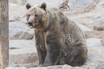 Plzeňská zoo 14. března 2019 vypustila do venkovního výběhu medvědy, kteří se probudili ze zimního spánku. Spali od 4. prosince.