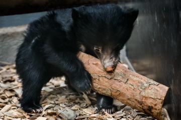 Zlínské zoologické zahradě se podařilo odchovat mládě medvěda pyskatého.