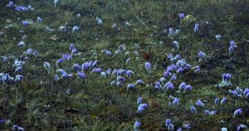 V přírodní rezervaci Kamenný vrch na okraji Brna začínají rozkvétat koniklece velkokvěté (na snímku ze 17. března 2019), oproti loňsku asi o dva týdny dříve.