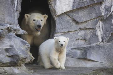 Mládě ledního medvěda Hertha v berlínské zoologické zahradě Tierpark, vzadu jeho matka Tonja.