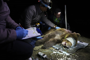 Ochráncům přírody se podařilo v pondělí 8. dubna 2018 večer odchytit medvěda pohybujícího se v Beskydech. Dostal telemetrický obojek, který bude poskytovat informace o jeho pohybu. Ráno 9. dubna bylo zvíře na stejném místě opět vypuštěno do volné přírody. Jedná se o medvědici, váží 106 kilogramů a výšku v kohoutku má 87 centimetrů. ČTK o tom informovala Karolína Šůlová z Agentury ochrany přírody a krajiny ČR (AOPK ČR). Medvěd se v Beskydech okolo Lysé hory pohybuje už několik týdnů.