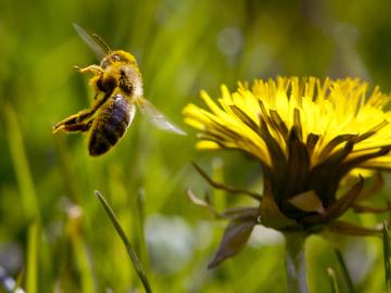 Včela letí na květ pampelišky Ilustrační foto.