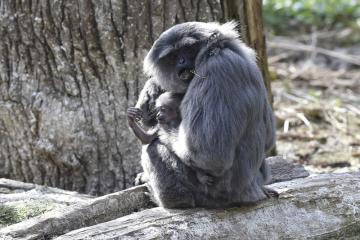 Zlínská zoologická zahrada představila 17. dubna 2019 mládě gibona stříbrného. Narodilo se 9. února a je prvním potomkem jedenáctileté samice a o rok staršího samce. Jde o velmi ohrožený druh, který je vzácný i v zoologických zahradách. Ve světě se chová pouze 90 jedinců, z toho 53 v Evropě.