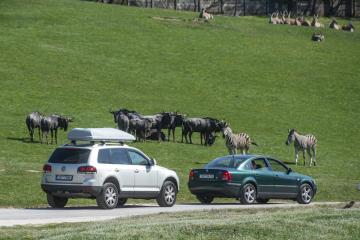 Zoologická zahrada ve Dvoře Králové nad Labem na Trutnovsku zahájila 19. dubna 2019 otevřením areálů afrického a lvího safari hlavní sezonu. Návštěvníci zde mají možnost mezi volně žijícími zvířaty projíždět vlastním autem, safaribusem nebo takzvaným safari truckem.