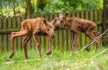 Tříletá samice losa evropského Quanita přivedla v Zooparku Chomutov na svět dvojčata (na snímku ze 17. května 2019).