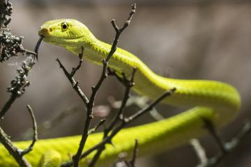 Plzeňská zoologická zahrada obohatila expozici Království jedu o mamby zelené. Pár jihoafrických stromových hadů si nadělila ke čtvrtému výročí otevření expozice. Asi čtyřleté jedince pořídila z českého soukromého odchovu. Jejich předkové ale pocházejí z Tanzanie. Na snímku z 23. května 2019 je samice mamby zelené, která se liší od samce světlejší žlutozelenou barvou a menší velikostí.