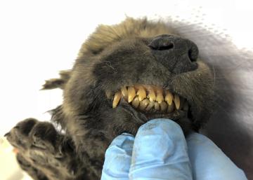 Ruští vědci našli ve zmrzlé půdě na Sibiři zachovalou mumii štěněte, které podle odhadu žilo před 18.000 lety.