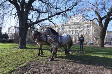 Dva valaši pomáhali 4. března 2020 s péčí o trávníky v brněnském parku na Kolišti. Tažením se travnaté plochy po zimě prořezávají, aby byly provzdušněné, a zlikvidovaly se tak travní plísně.