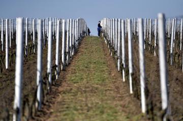 Lenka Nestarcová uvazovala 18. března 2020 keře vinné révy ve vinohradě u Moravského Žižkova na Břeclavsku. V souvislosti s opatřeními proti šíření koronaviru v Česku trápí jihomoravské vinaře problémy s nepřesnými informacemi a hlavně nedostatkem zahraničních brigádníků na práci v probouzejících se vinohradech.