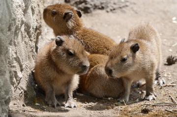 V zoologické zahradě v Děčíně se narodila čtyřčata kapybar vodních, největšího žijícího hlodavce na světě. Kapybarám se většinou rodí dvě až osm mláďat o hmotnosti 1,5 kilogramu. V dospělosti váží až 80 kilogramů, měří i přes metr na délku.