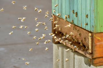 Včely letí do úlu - ilustrační foto.