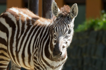 V zoo ve Dvoře Králové nad Labem se v květnu 2020 narodilo mládě vzácné zebry bezhřívé (na snímku z 13. května 2020).