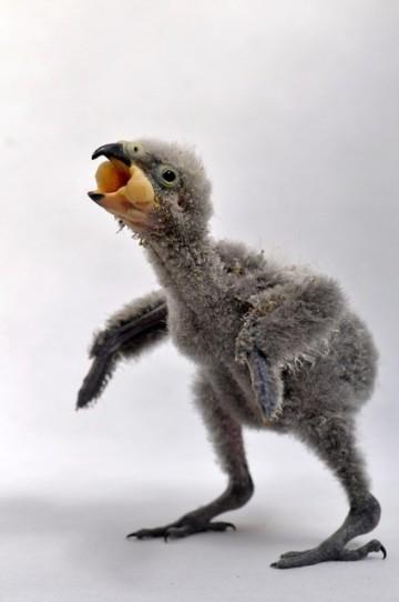 Zlínské zoologické zahradě se poprvé po 16 letech chovu podařilo odchovat mládě novozélandského papouška nestor kea (na snímku z 2. dubna 2020).
