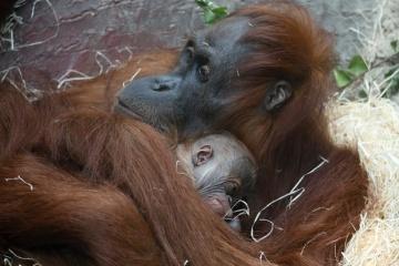 V pražské zoologické zahradě se 17. listopadu 2020 před polednem narodilo mládě orangutana sumaterského, jednoho z nejohroženějších lidoopů planety. Je to třetí orangutan, který se v Zoo Praha narodil.