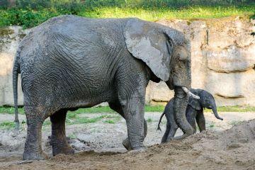 Slůně, které se narodilo 5. června 2021 ve zlínské zoologické zahradě, je vitální, samice Kali o něj starostlivě pečuje. Jde o první mládě slona afrického v Česku.