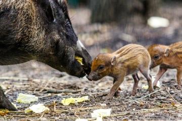 V ostravské zoologické zahradě se po pěti letech podařilo rozmnožit vzácná prasata z Filípín. Ve své domovině je tento druh na pokraji vyhubení. Mladý pár prasat visajánských odchovává nyní dvě mláďata. Pohlaví zatím pracovníci zahrady neznají, ale obě mláďata bez problémů prospívají a rodiče o ně příkladně pečují.
