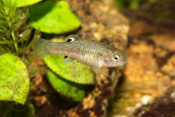 Brněnská zoo získala z Nizozemska 20 jedinců halančíkovce dlouhohřbetého (na snímku z 24. září 2021). Jde o velmi vzácnou rybu, která se už nevyskytuje ve volné přírodě. V ČR ji žádná zoo nechová.
