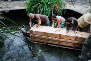 Pracovníci  Safari Parku Dvůr Králové 11. října 2021 odchytávají vzácného krokodýla úzkohlavého. Samce a samici stěhují do zoologické zahrady v polské Lodži, kde budou žít ve výrazně větším pavilonu.