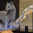 Archeopark Pavlov na Břeclavsku vystaví model lebky vlka (na snímku z 23. července 2021), která byla nalezena při záchranném výzkumu v Pavlově před samotnou výstavbou archeoparku v roce 2014. Pochází z doby lovců mamutů a na lebce byl identifikován oboustranný zánět ucha, který zvíře pravděpodobně odsoudil k určité závislosti na lidské osadě. Výstava má poukázat na pravděpodobné počátky vztahu člověka a vlka.